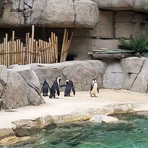 African Penguins at the Dallas Zoo